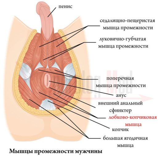 muscle-of-the-perineum-520x508.jpg